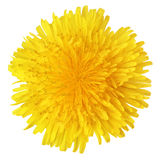 Yellow dandelion flower Royalty Free Stock Photography