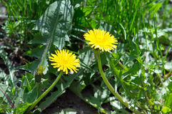 2 yellow dandelion flower. Two yellow dandelion flower on a green lawn in the middle of a close-up of green grass stock photo