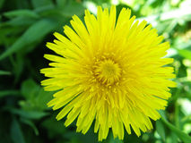 Yellow dandelion flower Royalty Free Stock Photo
