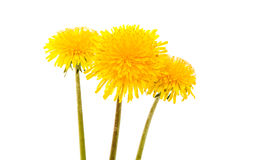 Yellow dandelion flower Stock Photo