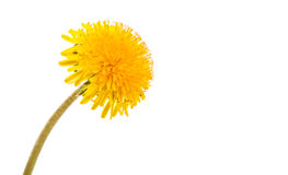 Yellow dandelion flower Royalty Free Stock Photography