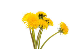 Yellow dandelion flower Royalty Free Stock Images
