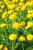 Yellow dandelion flowers Stock Photo