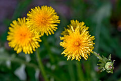 Yellow dandelion flowers Stock Images