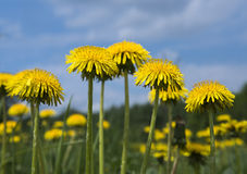 Yellow Dandelion Flowers. Royalty Free Stock Images