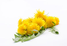 Yellow dandelion flowers in a bouquet Royalty Free Stock Image