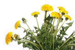 Yellow dandelion flowers with buds isolated. On white background stock image