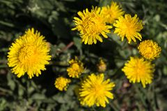 Yellow dandelion flowers in deppr green grass. Spring and summer blossom concept. Blooming nature background. Meadow and fileld flowers Royalty Free Stock Photography