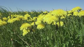 Yellow dandelion flowers in a field spring.  stock video footage