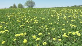 Yellow dandelion flowers in a field spring. Dolly video.  stock video