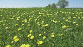 Yellow dandelion flowers in a field spring. Dolly video.  stock footage