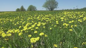 Yellow dandelion flowers in a field spring. Dolly video.  stock video footage