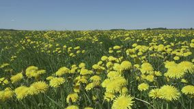 Yellow dandelion flowers in a field spring.  stock footage