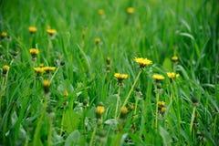 Yellow Dandelion Flowers on Green Field. Closeup on dandelion flowers on green meadow Royalty Free Stock Image