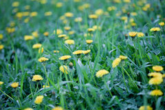 Yellow dandelion flowers  in green grass Royalty Free Stock Photos