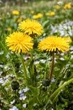 Yellow dandelion flowers . Stock Photos