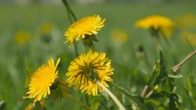 Yellow dandelion flowers among green grass stock video