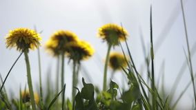 Yellow dandelion flowers among green grass on lawn stock footage