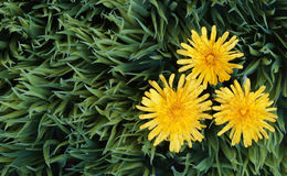 Yellow Dandelion Flowers on Green Grass. Royalty Free Stock Photos