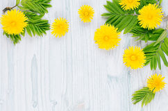 Yellow dandelion flowers and green leaves on light blue wooden board. Stock Photos