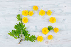 Yellow dandelion flowers and green leaves on light blue wooden board. Copy space, top view. Royalty Free Stock Photography
