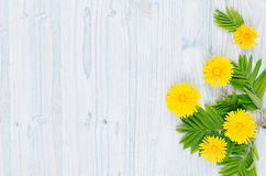Yellow dandelion flowers and green leaves on light blue wooden board. Copy space, top view. Royalty Free Stock Photo