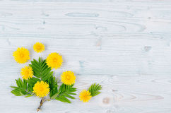 Yellow dandelion flowers and green leaves on light blue wooden board. Copy space, top view. Stock Photos