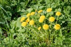Yellow Dandelion Flowers Royalty Free Stock Photo