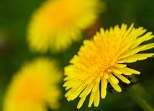 Yellow dandelion flowers . Royalty Free Stock Photos