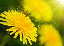 Yellow dandelion flowers . Royalty Free Stock Photography