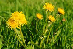 Yellow dandelion flowers with leaves Royalty Free Stock Images