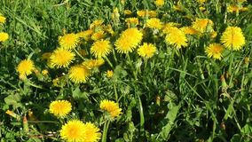 Yellow dandelion flowers with leaves in green grass stock video footage