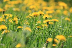 Yellow dandelion flowers with leaves in green grass Stock Images