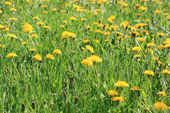 Yellow dandelion flowers with leaves in green grass Royalty Free Stock Image