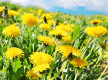 Yellow dandelion flowers with leaves in green grass, spring phot Stock Photo