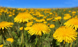 Yellow dandelion flowers with leaves in green grass, spring phot Stock Photography