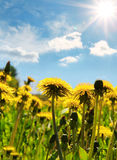 Yellow dandelion flowers with leaves in green grass Royalty Free Stock Photo