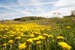 Yellow dandelion flowers with leaves in green grass. Spring photo Royalty Free Stock Photos