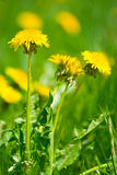 Yellow dandelion flowers with leaves in green grass, spring photo, Royalty Free Stock Photography