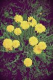 Yellow dandelion flowers with leaves in green grass, spring summer background with photo flters. Yellow dandelion flowers with leaves in green grass, spring royalty free stock photo