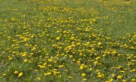 Yellow dandelion flowers on meadow Stock Photos