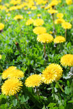 Yellow dandelion flowers in the meadow Royalty Free Stock Photos