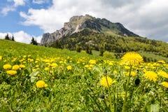 Yellow dandelion flowers on mountain spring meadow Stock Photo