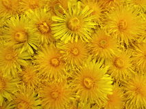 Yellow dandelion flowers pattern Stock Photos