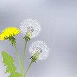 Yellow dandelion flowers Stock Image
