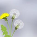 Yellow dandelion flowers Stock Image