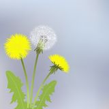 Yellow dandelion flowers Stock Photos