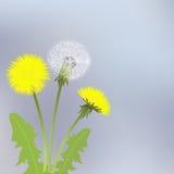 Yellow dandelion flowers Stock Photos