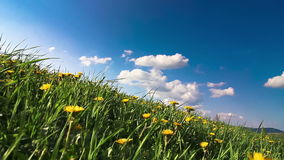 Yellow dandelion flowers - spring meadow stock footage