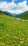 Yellow dandelion flowers on summer mountain slope Royalty Free Stock Images